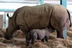 Hành trình khôn lớn của các loài thú quý, từ lúc chào đời ở Vinpearl Safari