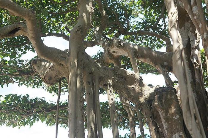 cây cảnh,cây sanh,chơi cây