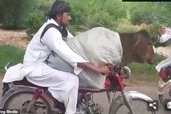 Xem thanh niên chở bò như đèo bạn gái đi chơi phố