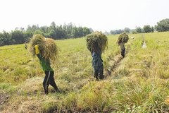 Rice production in Vietnam's Mekong Delta took wrong path: expert