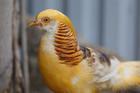 Kinh doanh chim, gà quý giá chục triệu đồng/con