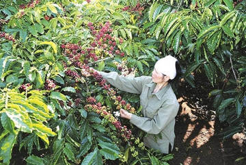 Vietnam coffee growers shift to environmentally friendly methods