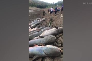 Kinh ngạc hàng chục con cá trê khổng lồ chết phơi thân bên hồ cạn