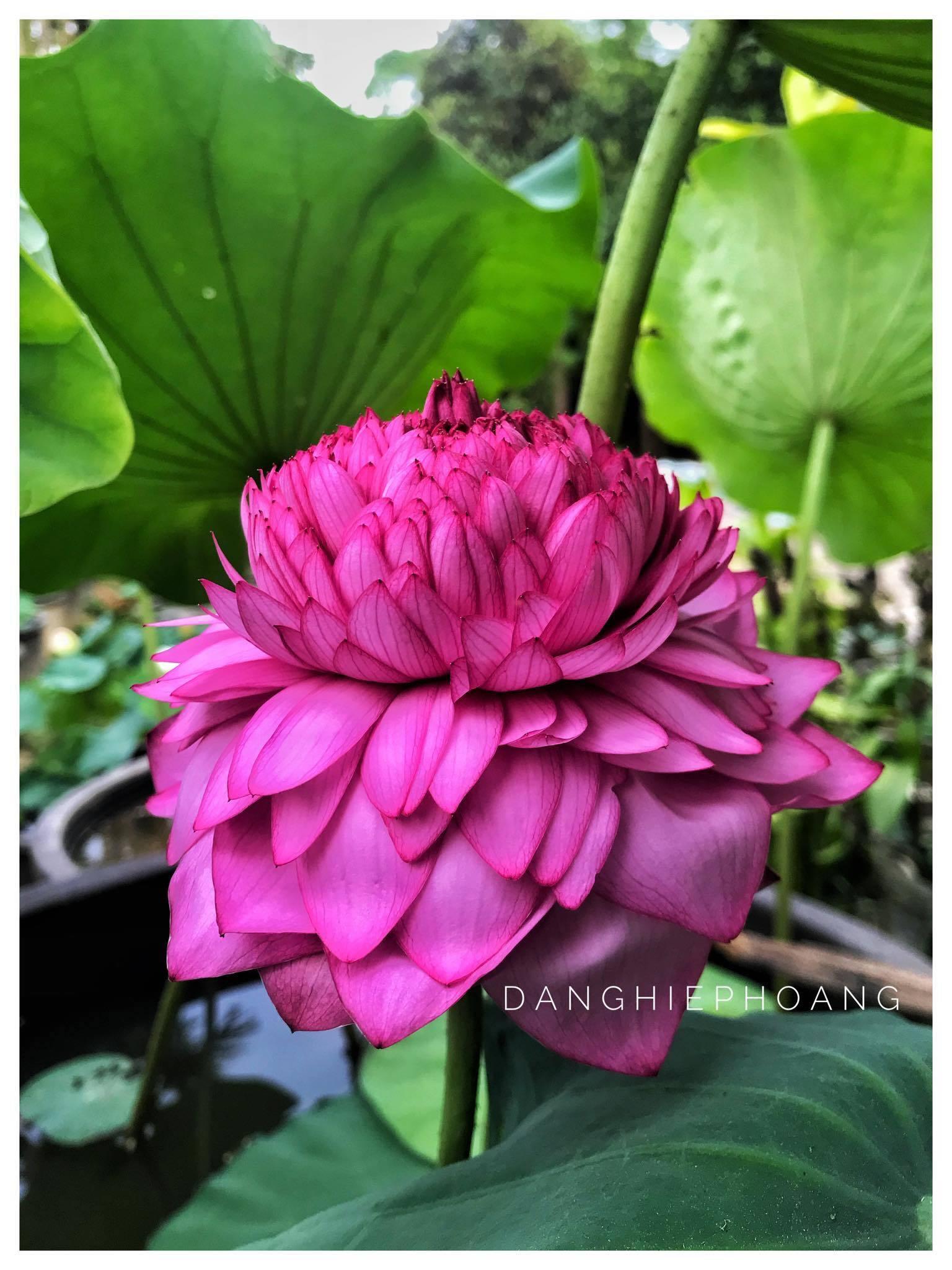 Bông sen khổng lồ cuống cao bằng người, lá rộng sải tay, hoa ngàn cánh