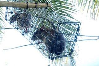 Ly kỳ chuyện săn loài chuột chuyên ăn cơm dừa, uống nước dừa