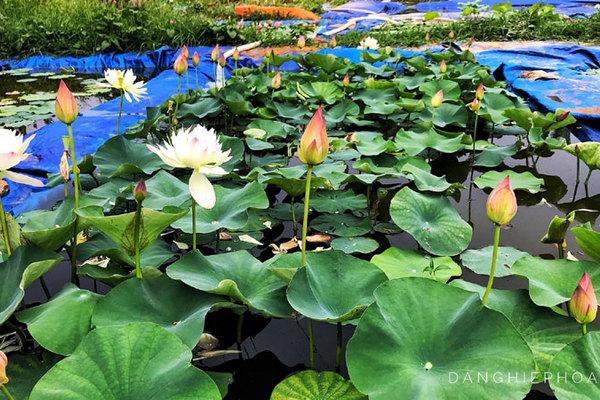 Độc nhất Việt Nam, chàng trai 9X đào 20 hồ quanh nhà trồng 40 loài sen hiếm
