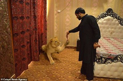 Cuộc sống sang chảnh của chú sư tử nằm phòng riêng điều hòa, ăn sơn hào hải vị