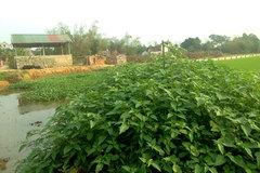 Chuyện lạ Thủ đô, rau dại mọc hoang dân đem về trồng thay lúa