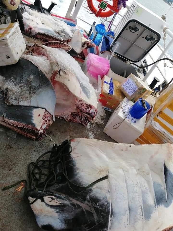 Ngư dân Lý Sơn bắt được cá đuối khổng lồ nặng 600kg