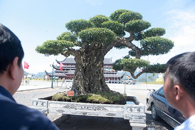 Gần 20 năm tạo tác, từ cây sanh không giá trị thành 'voi ma mút' giá hơn tỷ đồng