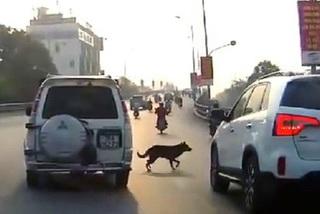 Chó chạy qua đường, lái xe phải xử lý thế nào?