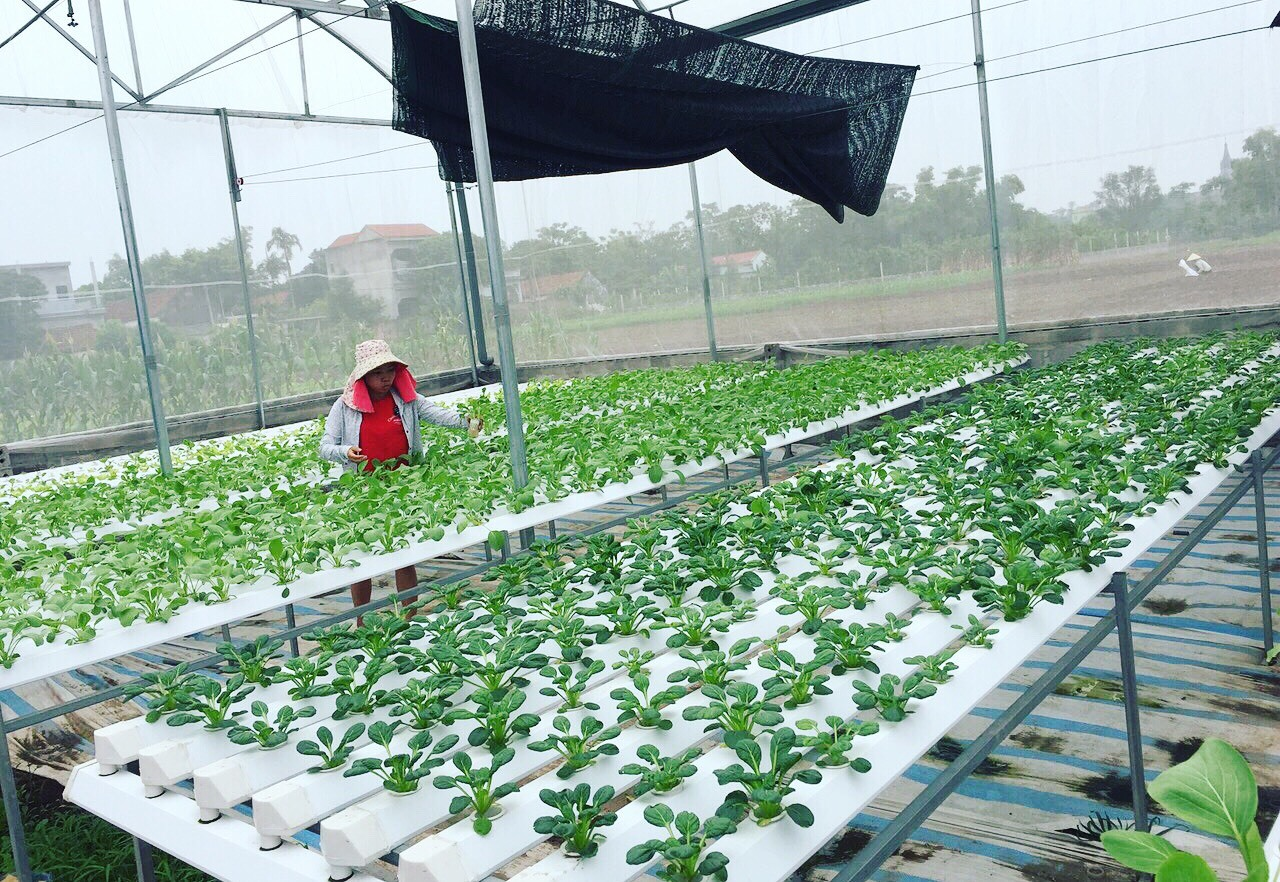 trồng rau,rau thủy canh,bỏ phố về quê,làm giàu,rau sạch