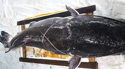 Câu được cá lăng đuôi đỏ khổng lồ nặng 80kg, dài gần 1,6m