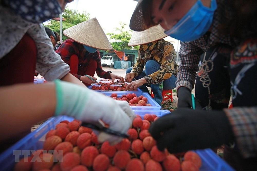 Lychee harvest season begins in Vietnam