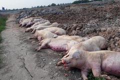 Dịch bệnh nguy cơ lây lan, tiêu huỷ 34.000 con lợn