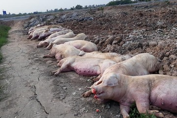 Thịt lợn giảm sâu, xuống dưới 30 ngàn/kg