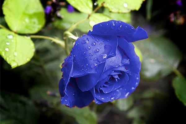 Hoa hồng ngoại màu xanh cháy hàng vì đắt khách