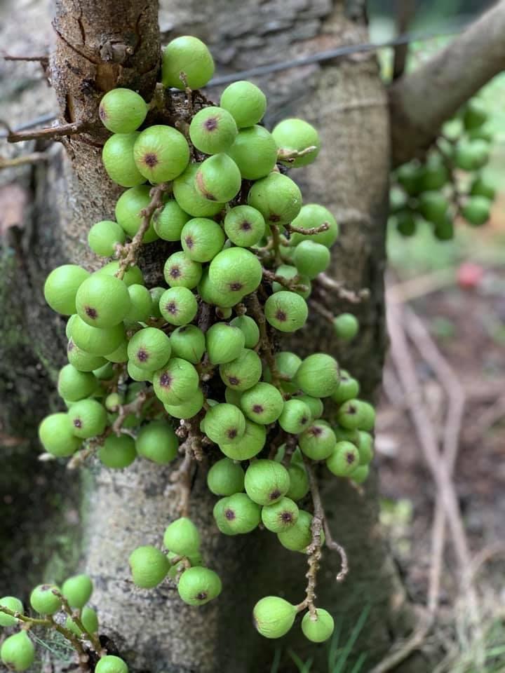 Khu nông trại 2.500m2 xum xuê cây trái của 'người đẹp Tây Đô'