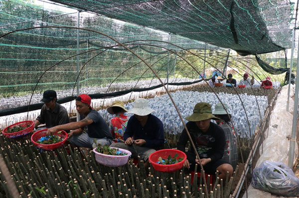 Vietnam's biggest provider of fruit seedlings improves quality