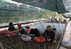 Vietnam's biggest provider of fruit seedlings improves quality