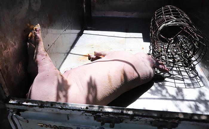 Lợn chết vùng dịch đưa ra phố làm thịt quay, món nhậu
