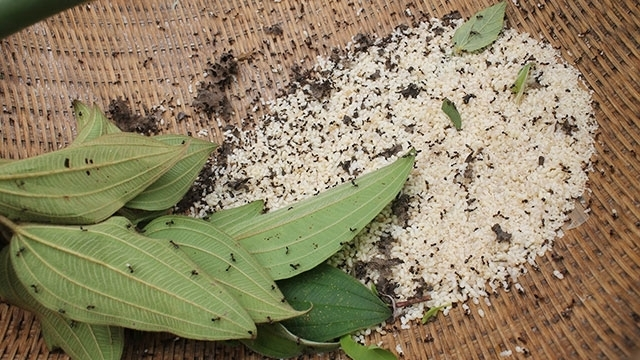 Harvesting weaver ant eggs in Bac Giang province