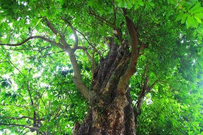 Chuyện lạ lùng nơi vườn 'báu vật' thị cổ Mỹ Trạch xanh tốt quanh năm