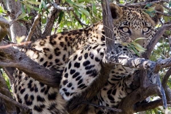 Nam Phi,báo,báo hoa mai,tấn công,bé trai,trẻ em,vườn quốc gia,bảo tồn,động vật,sinh vật,công viên quốc gia,tử vong
