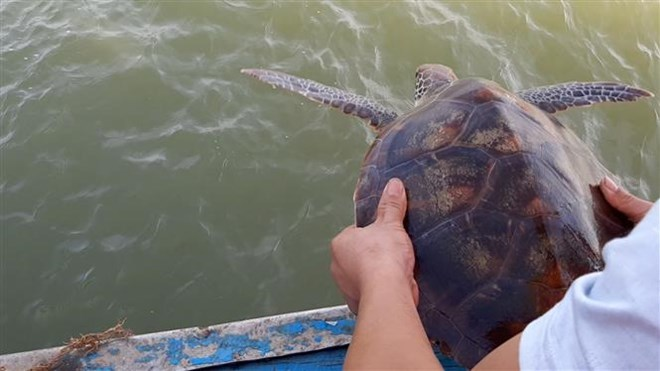 Nghe An: Rare green sea turtle returned to nature