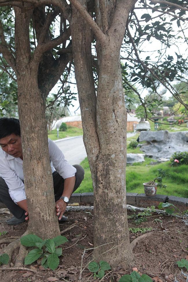 mộc hương,cây cảnh,cây cổ thụ