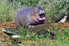 Nghịch cảnh hà mã tấn công cá sấu nhưng sợ trâu rừng