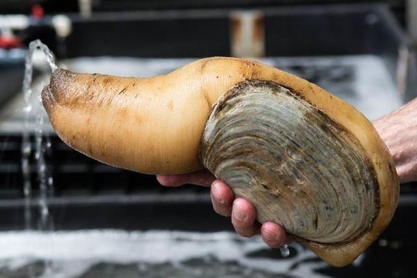 Loài ốc 'của quý' siêu đắt đỏ giá 2,5 triệu/kg bán đầy Việt Nam