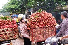 Vietnam becomes second largest exporter of lychees