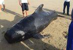 Dead whale found on Ha Tinh Beach