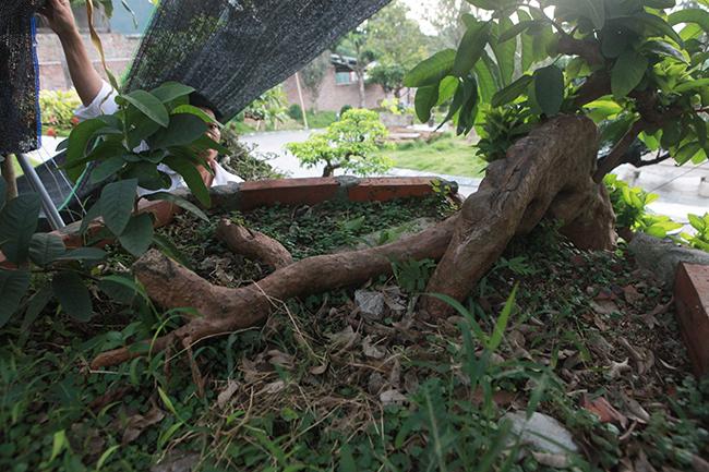 Chiêm ngưỡng cây ổi 'mọc ngược' độc nhất vô nhị giá tiền tỷ