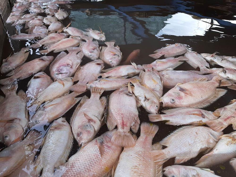 Cá chết trắng sông Tiền, người nuôi đau xót bán rẻ mỗi xô 20.000 đồng