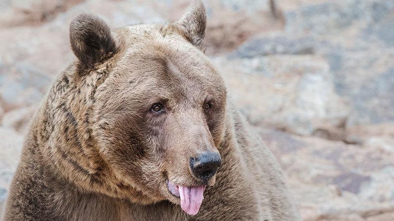 Nga,Siberia,gấu,tấn công