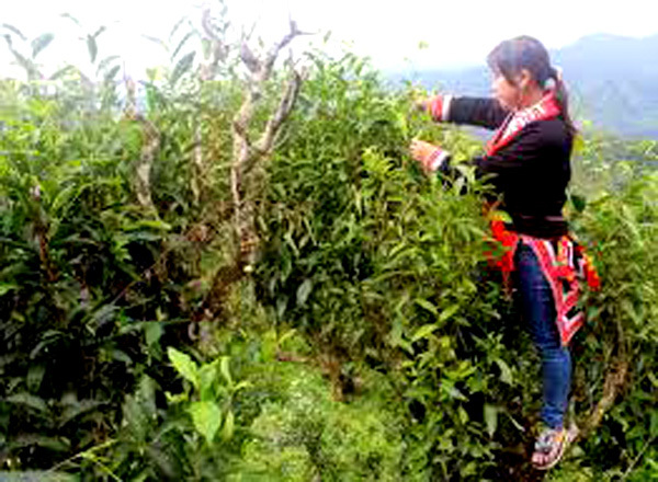 Yen Bai,Suoi Giang District,shan tuyet old tea trees,travel news,Vietnam guide,Vietnam tour,travelling to Vietnam,Vietnam travelling,Vietnam travel,vn news,vietnamnet news,vietnamnet bridge,Vietnam breaking news,Vietnamese newspaper,Vietnam latest news,Vi