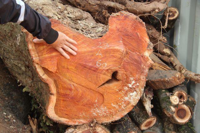 Sắp bán đấu giá hơn 5 tấn gỗ 'sưa trăm tỷ' - VietNamNet