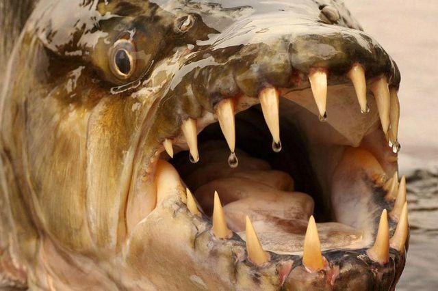 'Quái ngư' săn mồi cá hổ: Ăn thịt cả cá sấu, gieo rắc nỗi kinh hoàng dưới nước