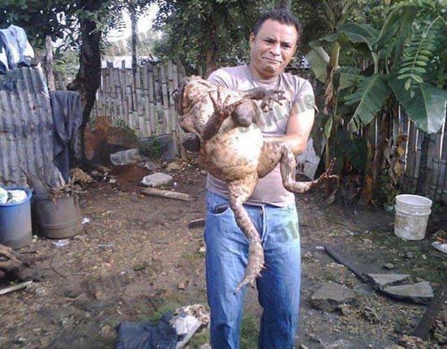 Loài ếch khổng lồ, to như đứa trẻ được giới nhà giàu yêu thích