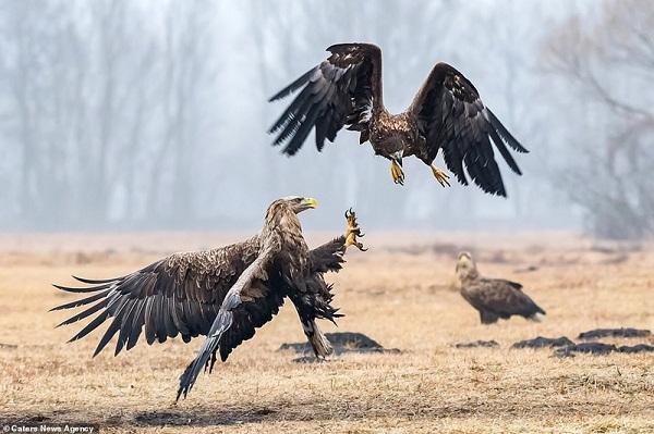 Đại bàng tung cước quyết giành ngôi bá chủ