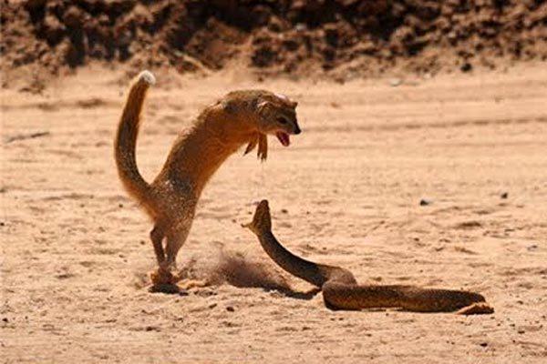 Xem cầy mangut trừng trị rắn hổ mang chúa