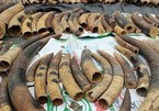 Over 7.4 tonnes of ivory, pangolin scales seized in Hai Phong