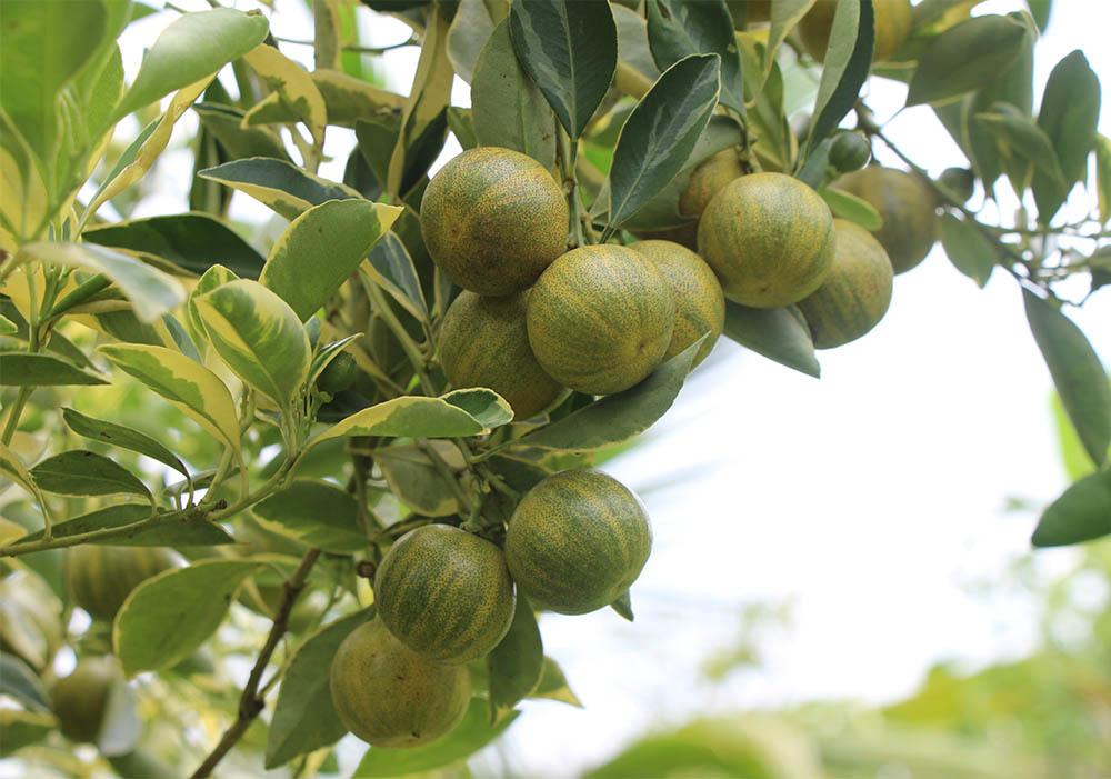 hoa quả độc lạ,Đồng Tháp,miền Tây,tắc cẩm thạch,cây quất,trái tắc