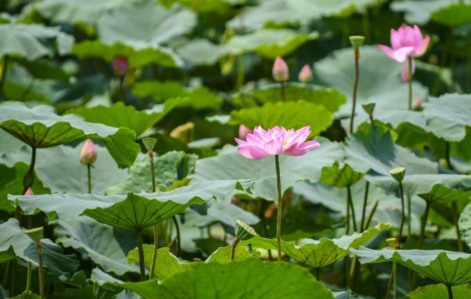 lotus ponds in Hanoi and HCM City,travel news,Vietnam guide,Vietnam tour,travelling to Vietnam,Vietnam travelling,Vietnam travel
