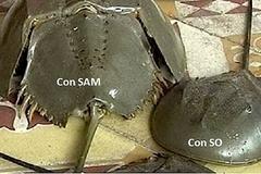 Ăn sam biển nhầm con so biển ngộ độc chết người