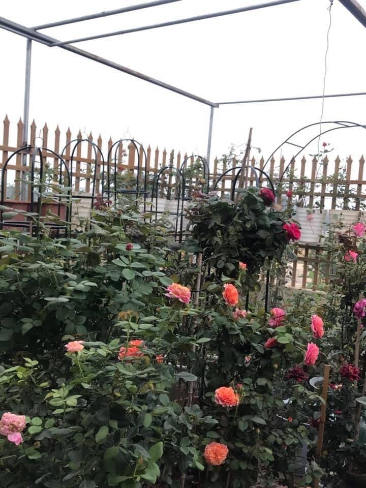 Sân thượng nhỏ 'chứa' cả trăm gốc hồng đẹp mê hoặc của mẹ ba con ở Hà Nội