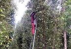 Cajuput tree trellises used to grow pepper in Kien Giang