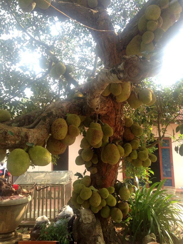 cây mít trăm quả,cây mít,trồng mít,đại gia cây cảnh